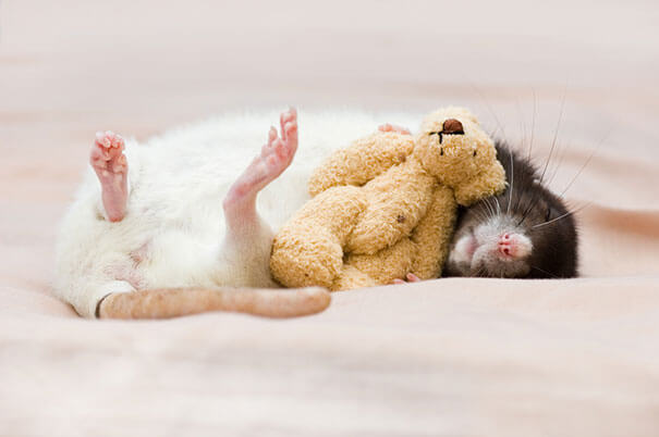 Rats With Teddy Bears ellen van deelen jessica florence 2 (1)
