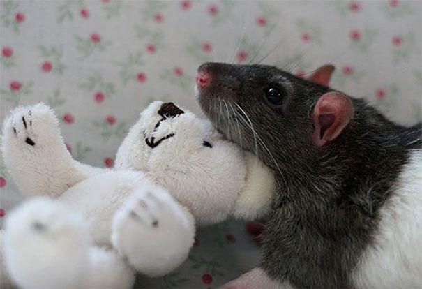Rats With Teddy Bears ellen van deelen jessica florence 20 (1)