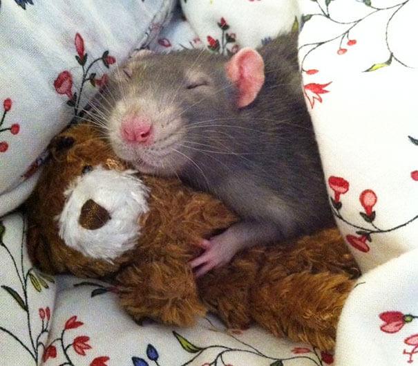Rats With Teddy Bears ellen van deelen jessica florence 21 (1)