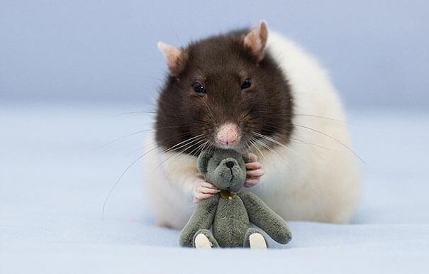 Rats With Teddy Bears ellen van deelen jessica florence 3 (1)