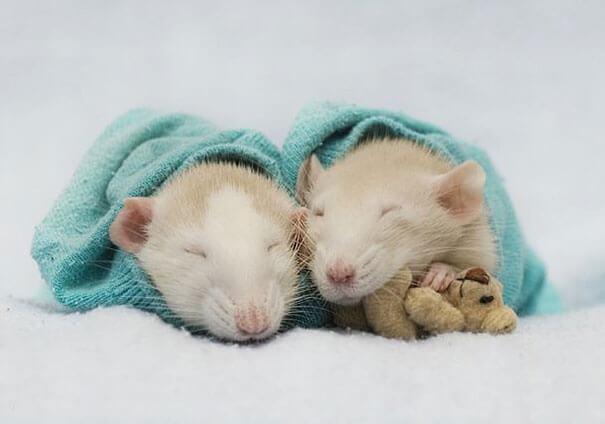 Rats With Teddy Bears ellen van deelen jessica florence 4 (1)