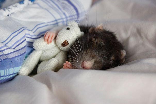Rats With Teddy Bears ellen van deelen jessica florence 5 (1)