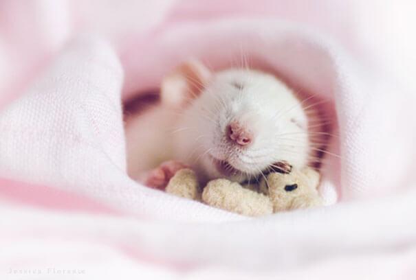 Rats With Teddy Bears ellen van deelen jessica florence 6 (1)