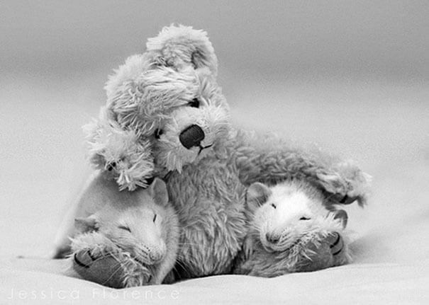 Rats With Teddy Bears ellen van deelen jessica florence 7 (1)