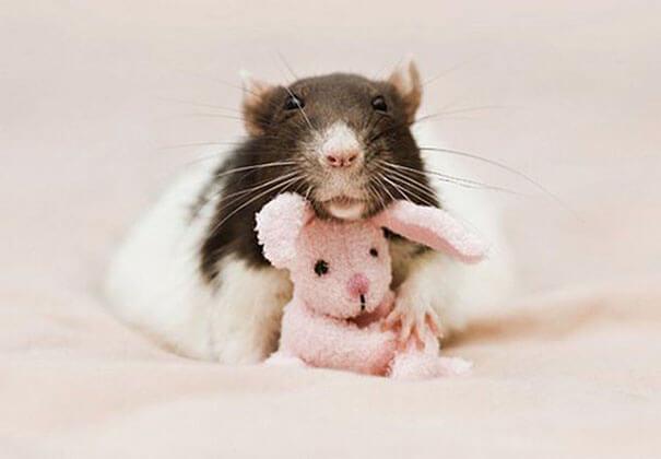 Rats With Teddy Bears ellen van deelen jessica florence 8 (1)