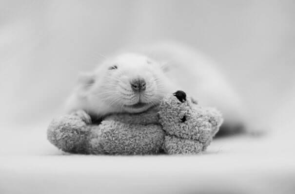 Rats With Teddy Bears ellen van deelen jessica florence 9 (1)