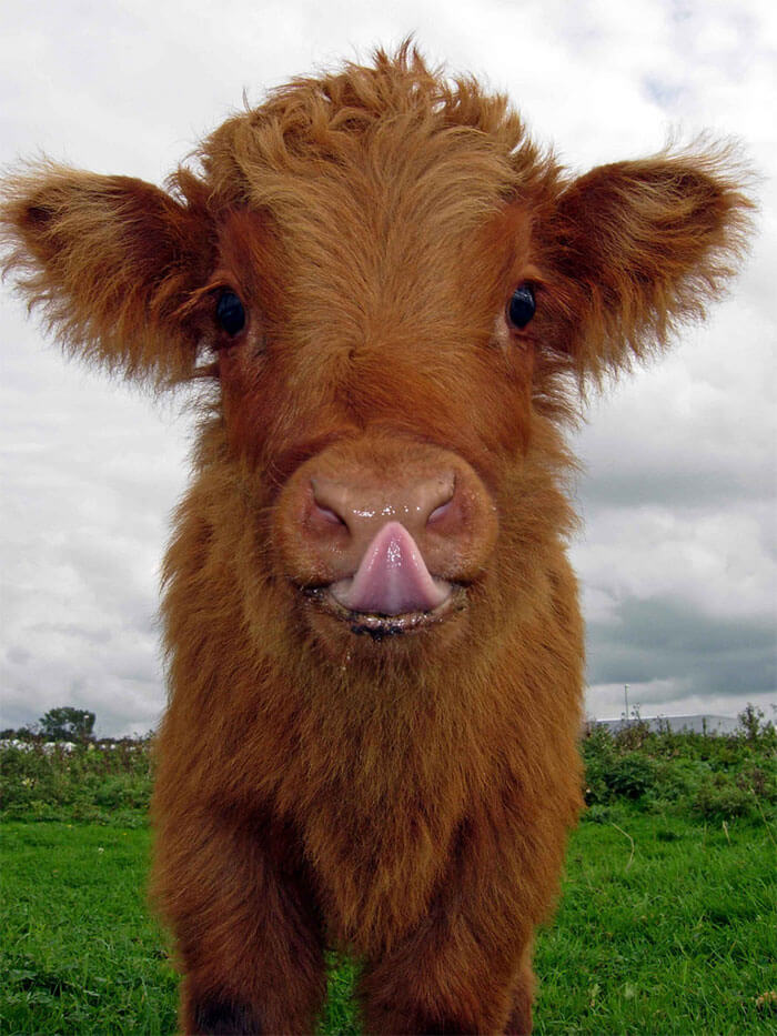 These Baby Highland Cattle Cows Can Cheer You Up No Matter