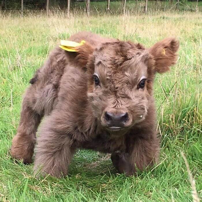 adorable cows 15 (1)