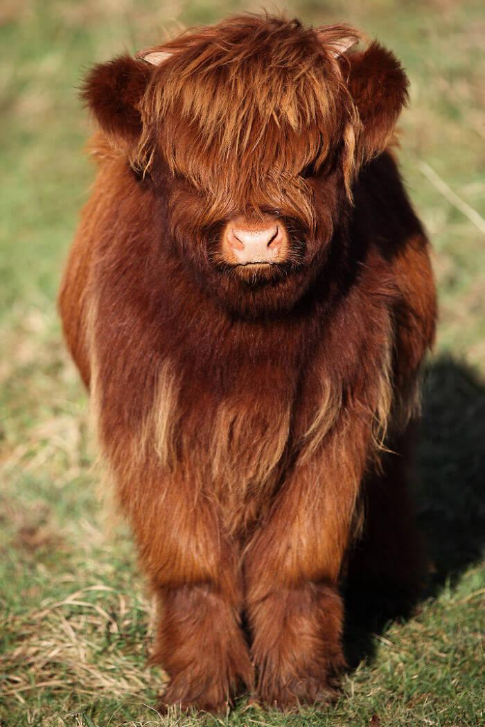 adorable cows 16 (1)