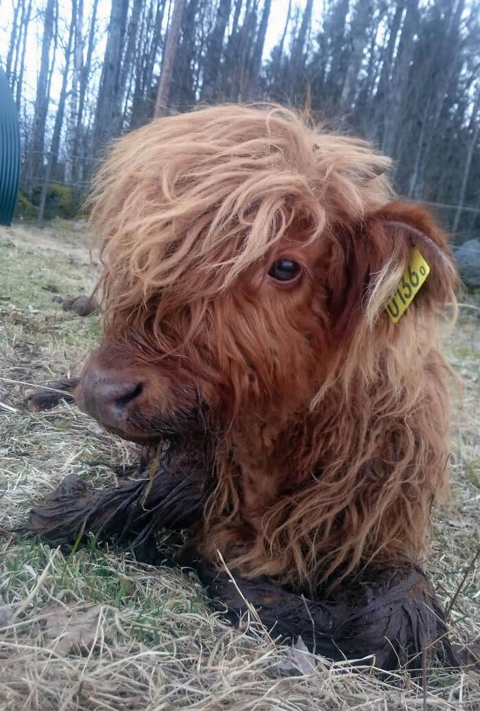 adorable cows 17 (1)
