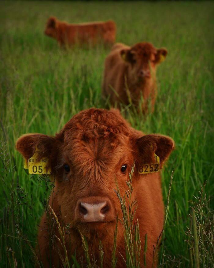 adorable cows 18 (1)