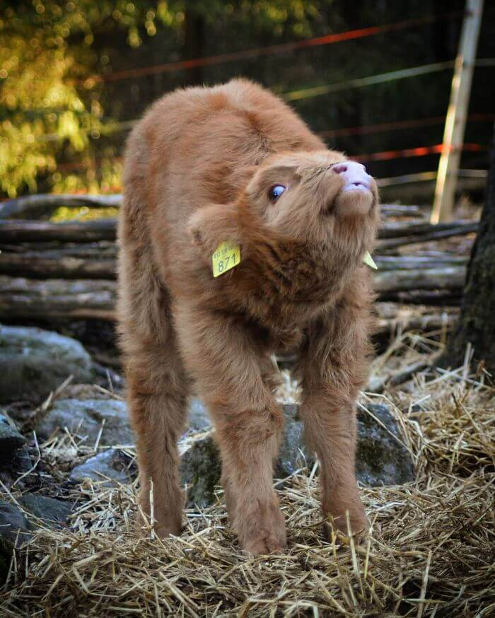 These Baby Highland Cattle Cows Can Cheer You Up No Matter ...