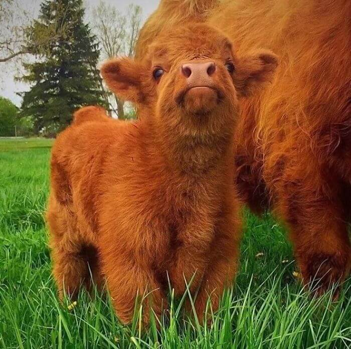 baby cows 2 (1)