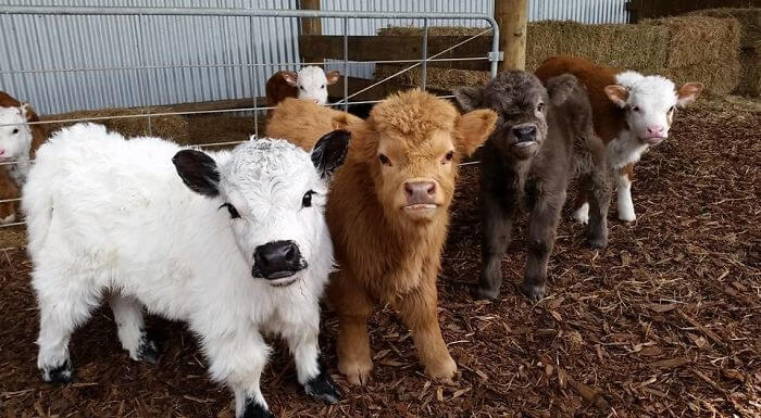 baby cows 3 (1)