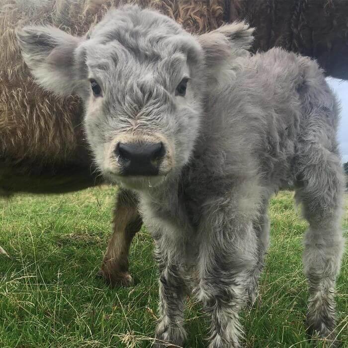 baby calfs 5 (1)