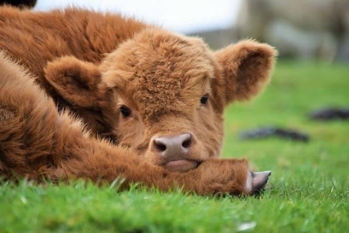 baby calfs 6 (1)