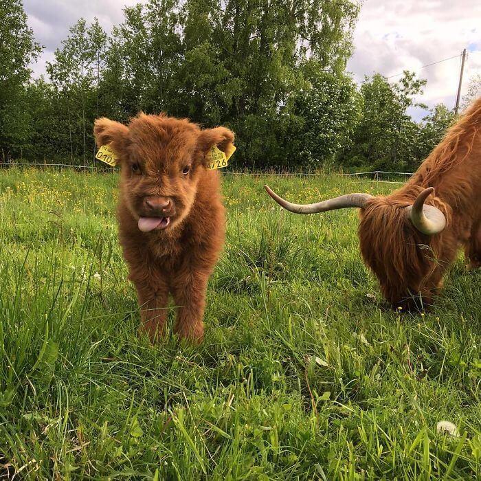 baby calfs 9 (1)