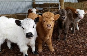 baby cows feat (1)