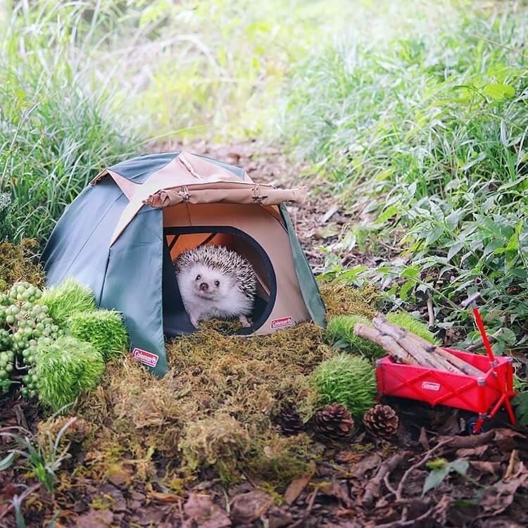 camping hedgehog azuki pygmy 1 (1)