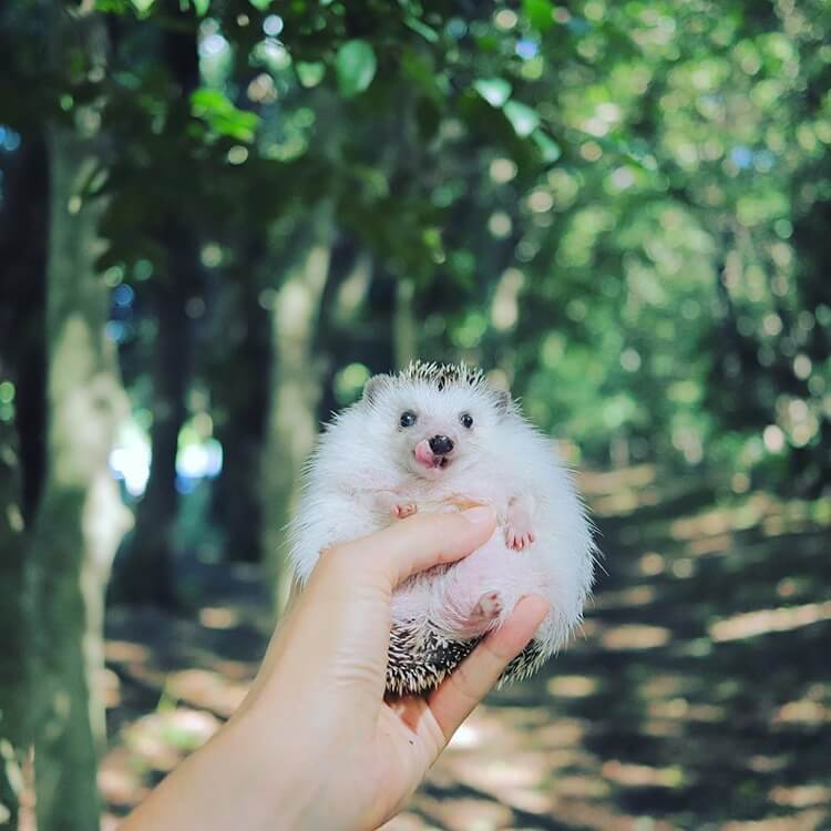Azuki The Tiny Pygmy Hedgehog Decided To Go Camping And