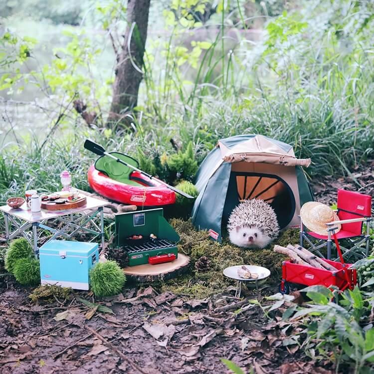 camping hedgehog azuki pygmy 3 (1)