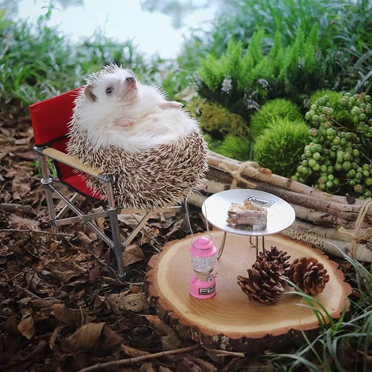 camping hedgehog azuki pygmy 4 (1)