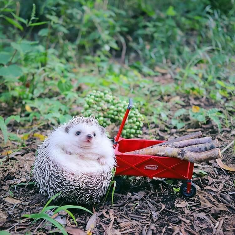 camping hedgehog azuki pygmy 5 (1)