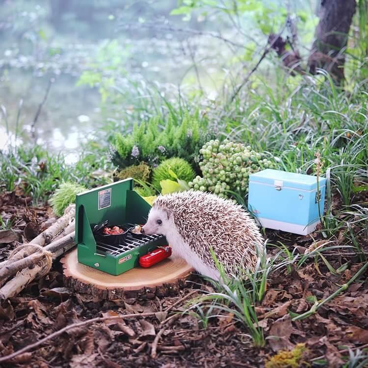 camping hedgehog azuki pygmy 6 (1)