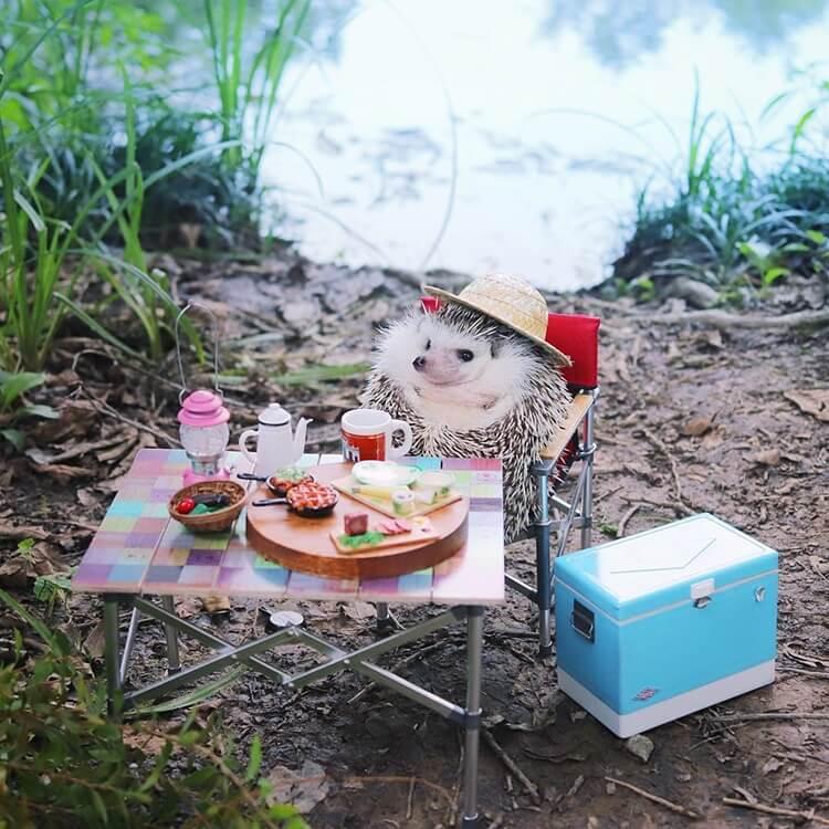 camping hedgehog azuki pygmy 7 (1)