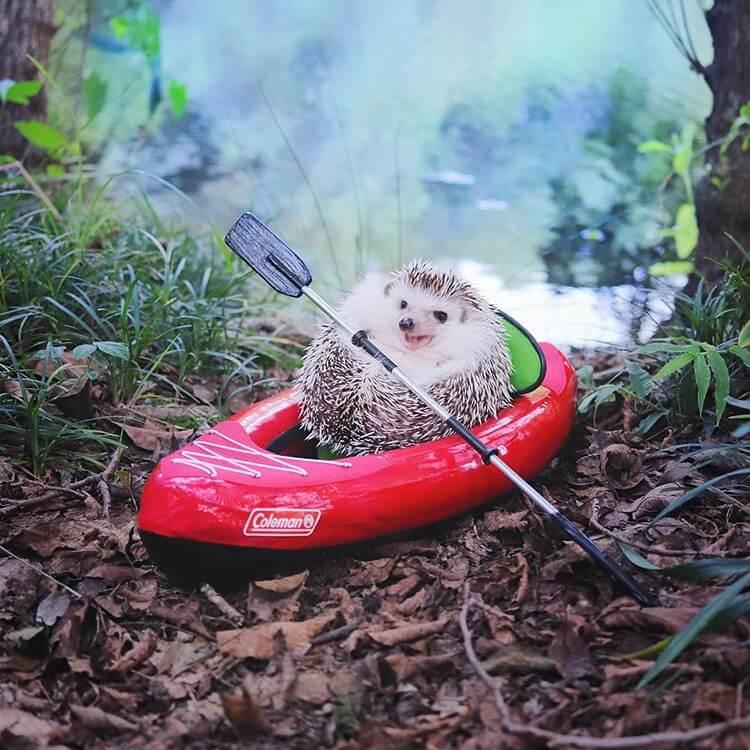 camping hedgehog azuki pygmy 8 (1)