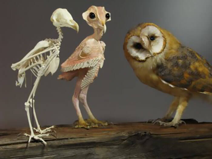 owl without feathers 3 (1)