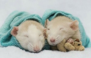 rats and teddy bears pictures feat (1)