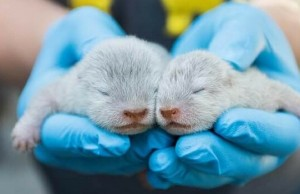 baby otters santa barbara zoo feat (1)