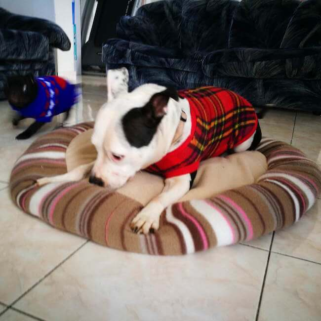 dogs in clothes 12 (1)