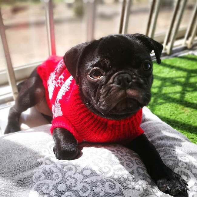 dogs wearing sweaters 13 (1)