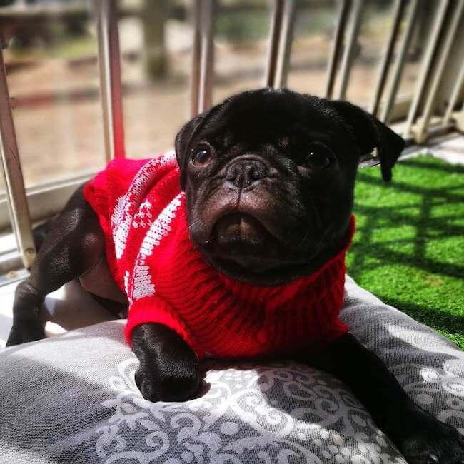 dogs wearing sweaters 14 (1)