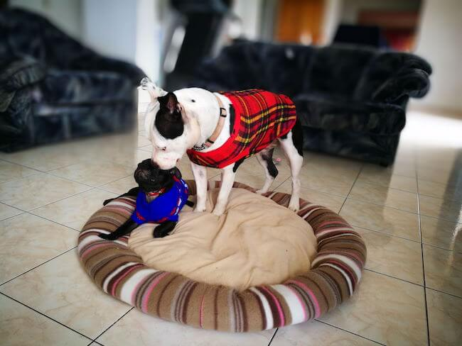 dogs wearing sweaters 17 (1)