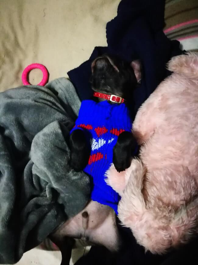 dogs in sweaters 18 (1)