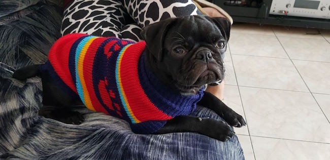 puppies in sweaters 5 (1)
