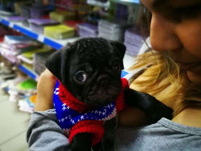 puppies in sweaters 6 (1)