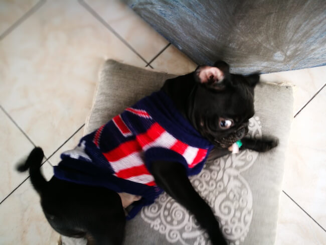 dogs in clothes 9 (1)