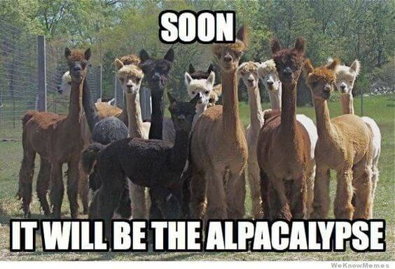 Alpaca pictures 10 (1)