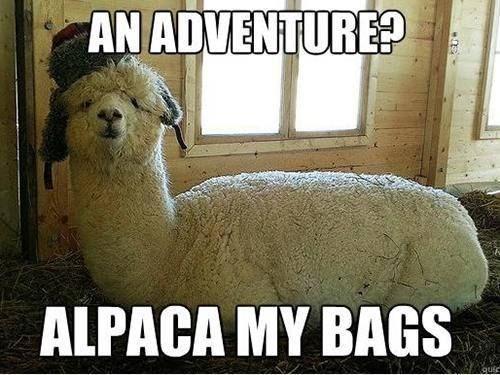 Alpaca pictures 11 (1)