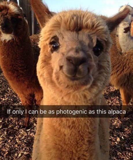 Alpaca images 4 (1)