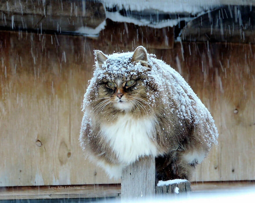 Siberian Cats alla lebedeva 1 (1)