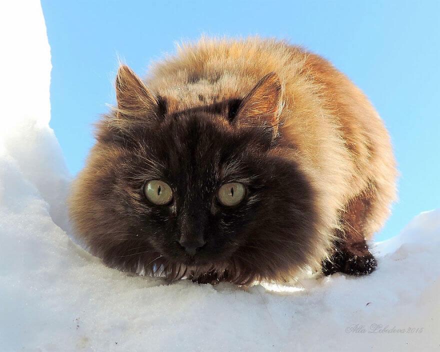 Siberian Farm Cats alla lebedeva 10 (1)