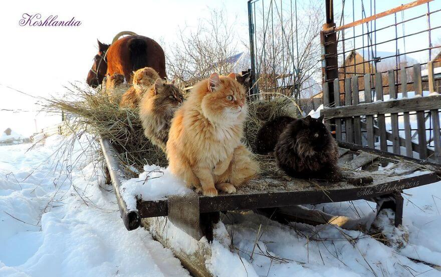 Siberian Farm Cats alla lebedeva 11 (1)