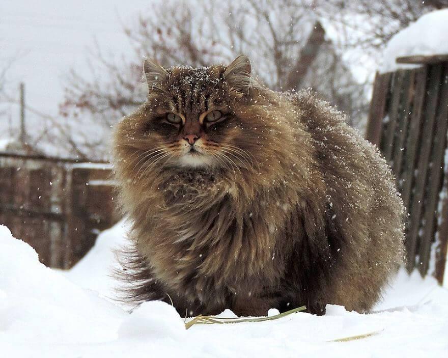 Siberian Farm Cats alla lebedeva 12 (1)