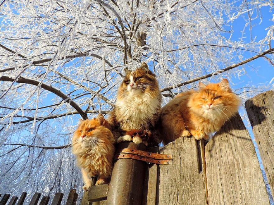 Siberian Farm Cats alla lebedeva 13 (1)