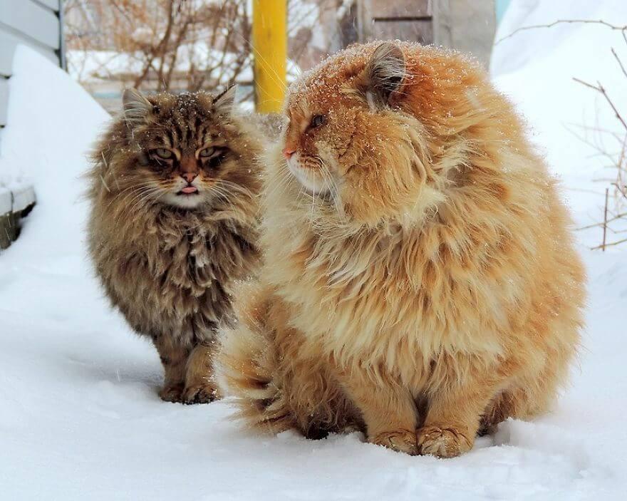 Siberian Farm Cats alla lebedeva 14 (1)